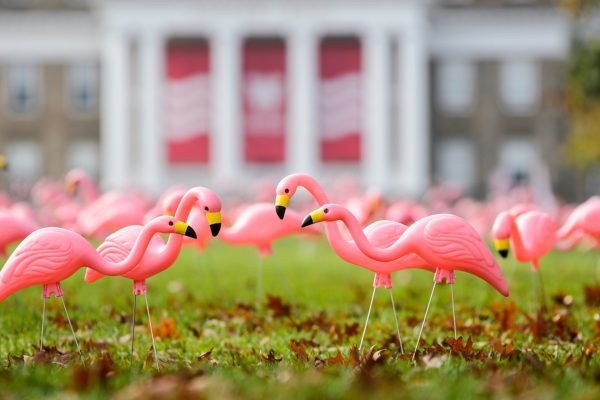 Hundreds of plastic pink flamingos adorn Bascom Hill