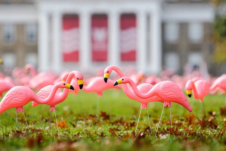 Hundreds of plastic pink flamingos adorn Bascom Hill